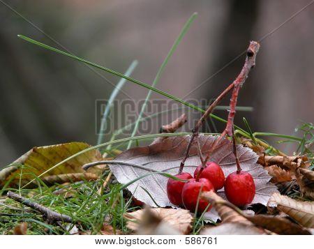 Red Wood Berries On A Leaf
