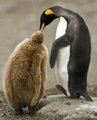A caring King Penguin makes contact with a downy chick in South Georgia. poster
