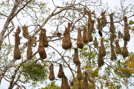 Hanging bird nests
