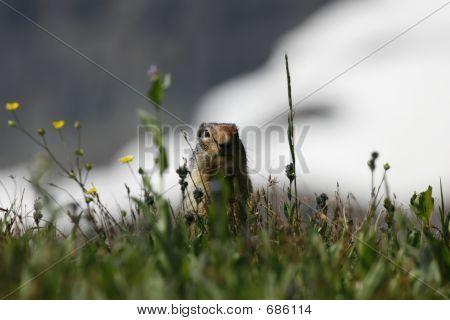 Colombian squirrel at Glacier National Park in Montana.  The glacier is in the background. poster