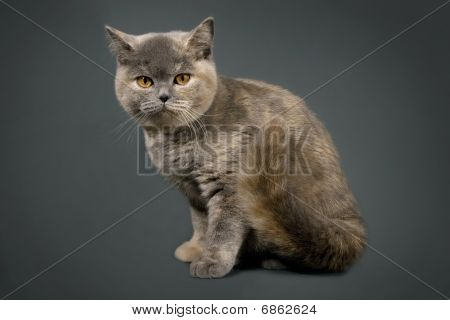 British cat in front of a gray background . poster