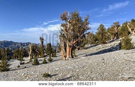 Ancient Bristlecone Pine Forest