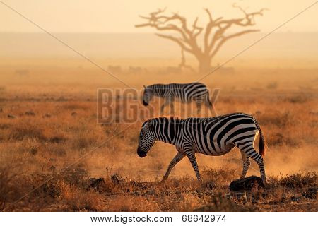 Plains zebras (Equus burchelli) walking on dusty plains, Amboseli National Park, Kenya