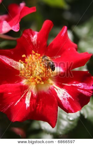 Bee Gathering Pollen On A 4Th Of July Rose