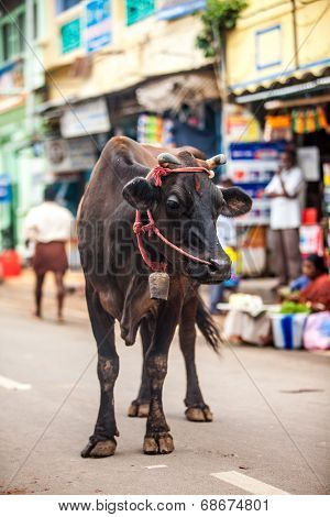 Cow on the street of Indian town. In India the cow is a sacred animal.