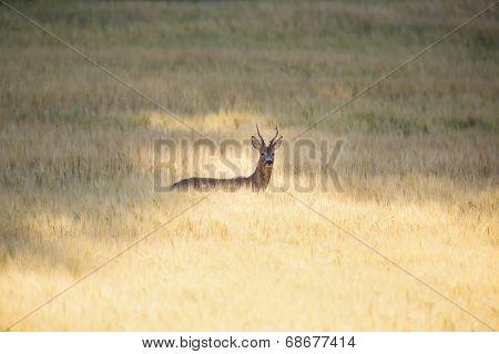 Wild roebuck in a field