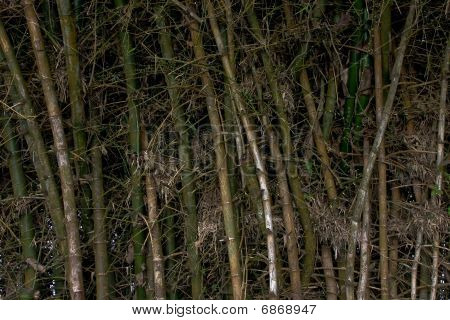 Bamboo busk close up. Green and white stems bunched close together. poster