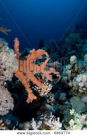 Pink Soft Broccoli coral (dendronephthya hemprichi) growing on coral reef. poster
