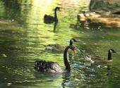 Group of black swans (Cygnus atratus) and geese in a lake. poster
