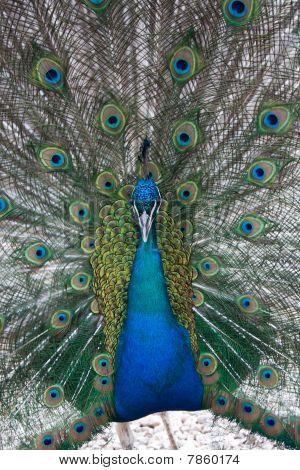 portrait, Indian blue Peafowl
