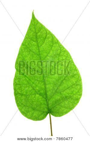 Green leaf of Lilac . Design Element