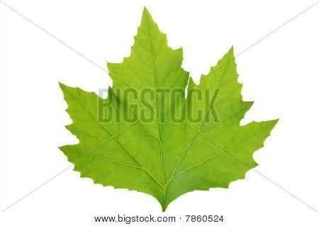 Green leaf of maple . Design Element