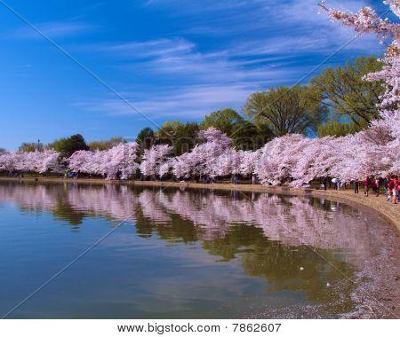 Cherry Blossom's