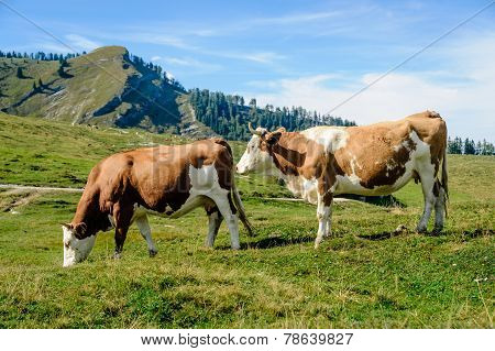 Two Cows In The Austrian Alps