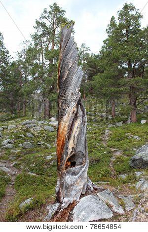 Trank of broken tree.