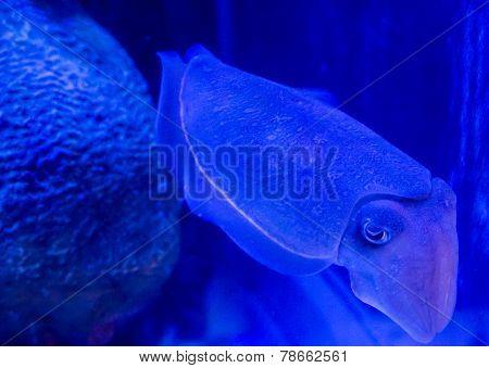 Calamari Underwater