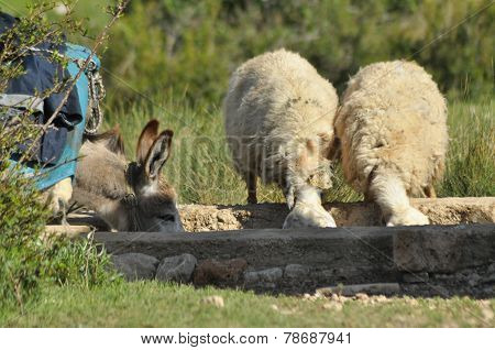 Donkey and sheep quenching thirst at the watering hole