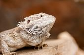 Portrait of a bearded dragon at the zoo poster
