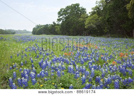 Bluebonnets And Indian Paintbrush Flowers Along Texas Hill Country Road