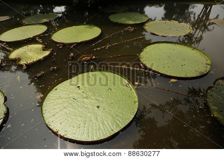 Victoria leaves (Victoria amazonica) in the Bogor Botanical Gardens, West Java, Indonesia.