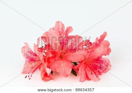 Orange-red Azalea Flowers