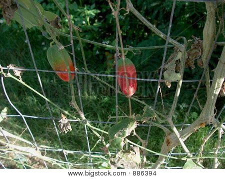 Susumber Plant On Fence