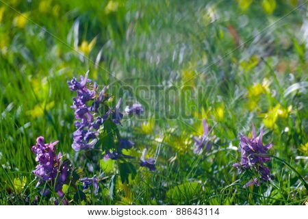 Violet  Flowers Green Summer Grass
