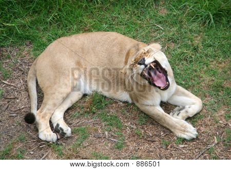 lioness laying down on the grass roaring poster