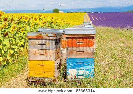 Bee hives on lavender and sunflower fields near Valensole Provence with a lot of bees. France. Famous popular destination and place for tourists for making vacations in summer. poster