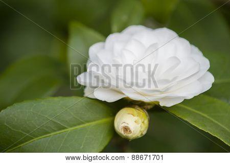 White Camelia Flower In Full Bloom