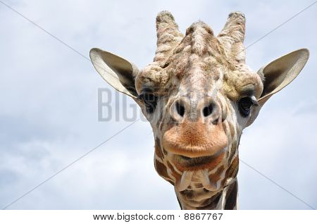 Face of a giraffe on a cloudy day. poster
