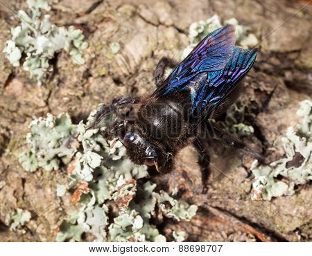 Indian Bhanvra (borer Bee) On Old Trunk