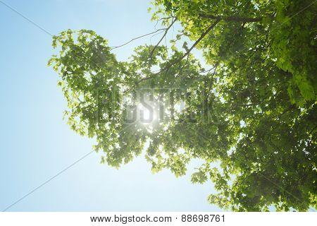 Sunbeams Through Maple Crown