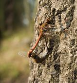 common darter mating (sympetrum striolatum)on treemale and female poster