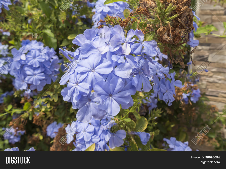 Blue flowers plumbago image photo free trial bigstock blue flowers plumbago auriculata cape leadwort blue jasmine izmirmasajfo