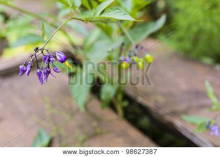 Purple flowers of plants Solanum dulcamara in nature poster
