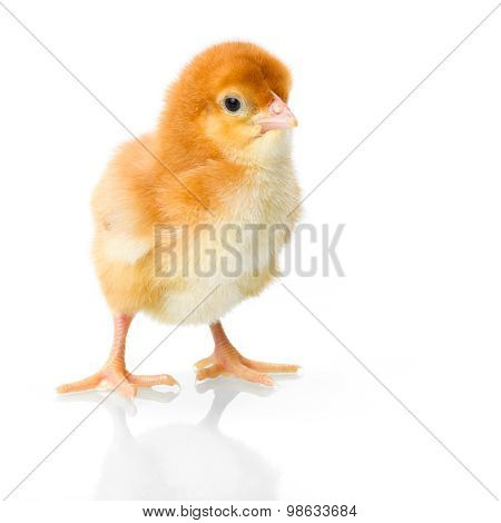 Brown Newborn Chicken On Reflective White