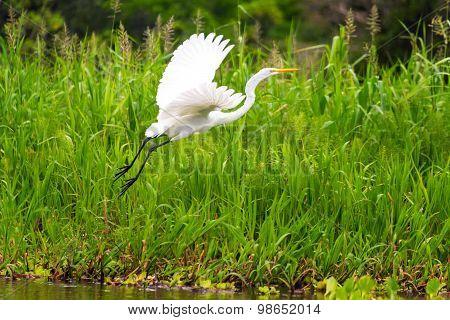 Great White Heron Takeoff