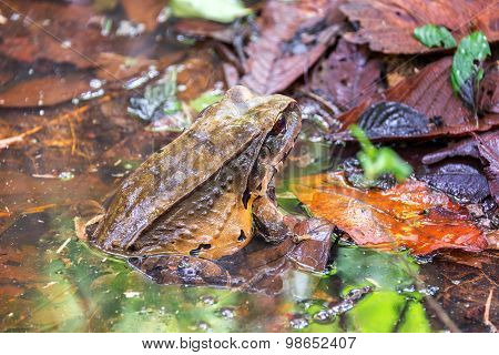 Large Toad In The Amazon