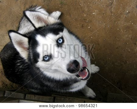 Black & White Husky Dog