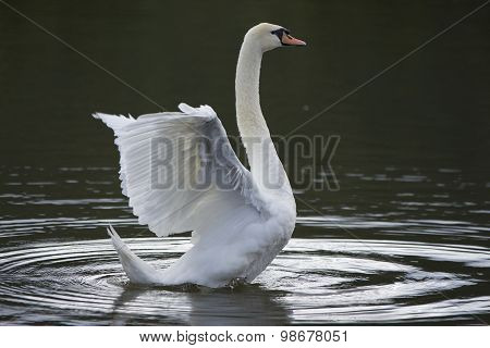 Beautiful wild bird swan