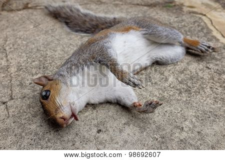 Dead And Injured Squirrel Lying On Concrete