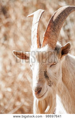 Saanen Billy Goat