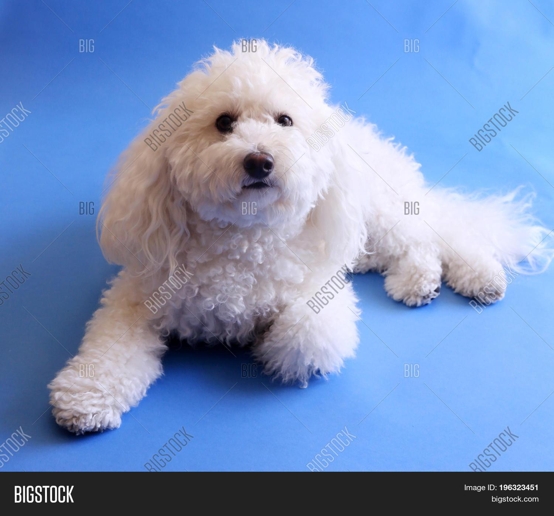 Multi Poo Dog Image Photo Free Trial Bigstock