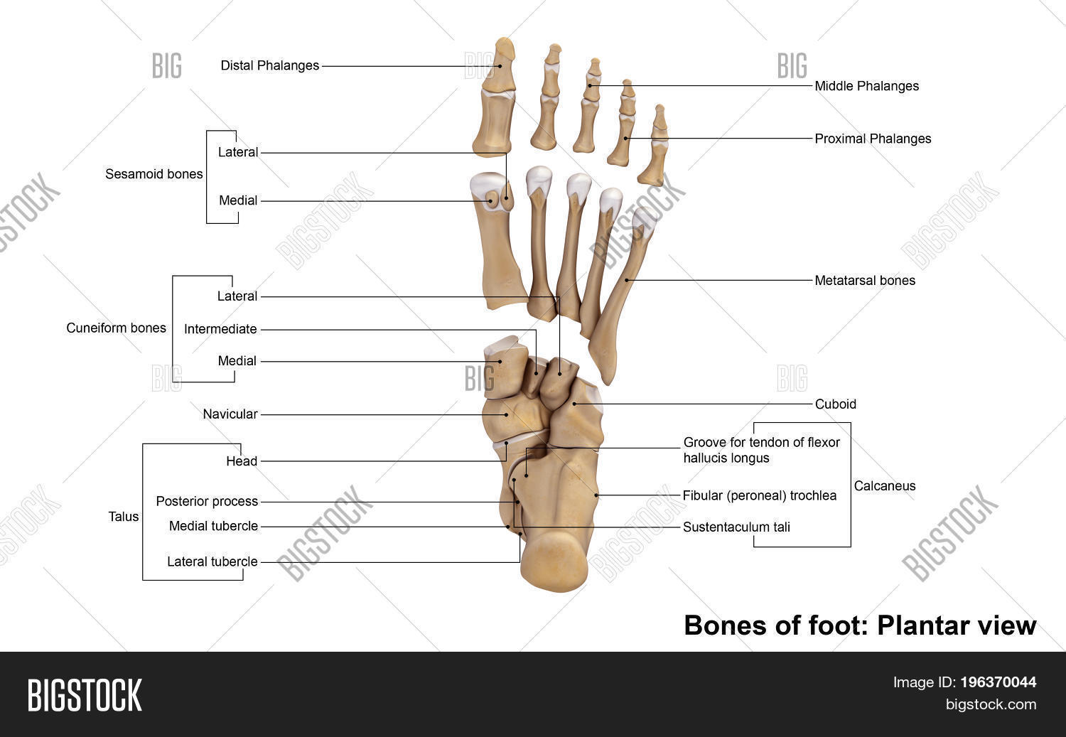 Forefoot Contains Five Image & Photo (Free Trial) | Bigstock