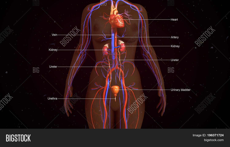 Human Excretory System Image Photo Free Trial Bigstock