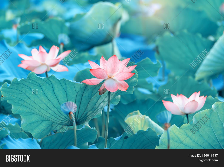 Lotus flower pond image photo bigstock lotus flower in pond izmirmasajfo