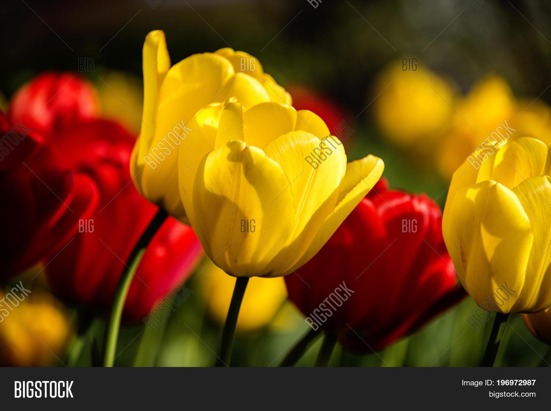 Flowers flowers tulips flowers image photo bigstock flowers flowers tulips flowers concept natural flowers red flowers yellow flowers mightylinksfo