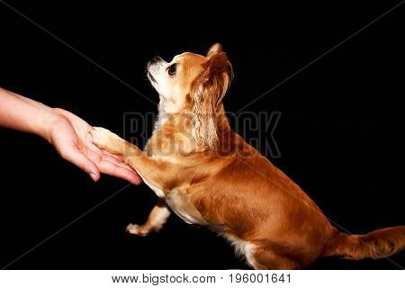 a small dog touching a humans hand // you can see the love to  its owner // black background