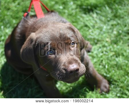 Beautiful three month old chocolate Labrador retriever puppy looking up.